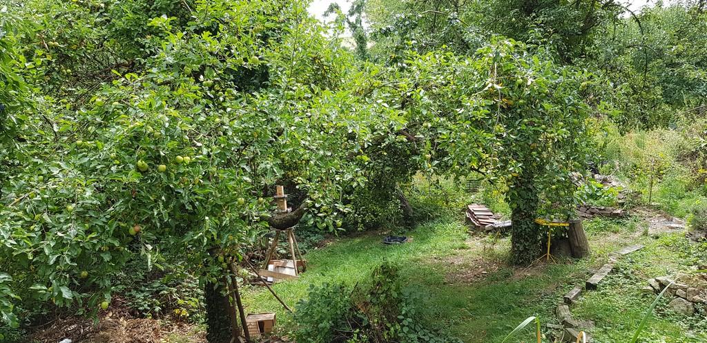 Obst ohne Ende. Äpfel, Birnen und Zwetschgen das die Äste brechen.