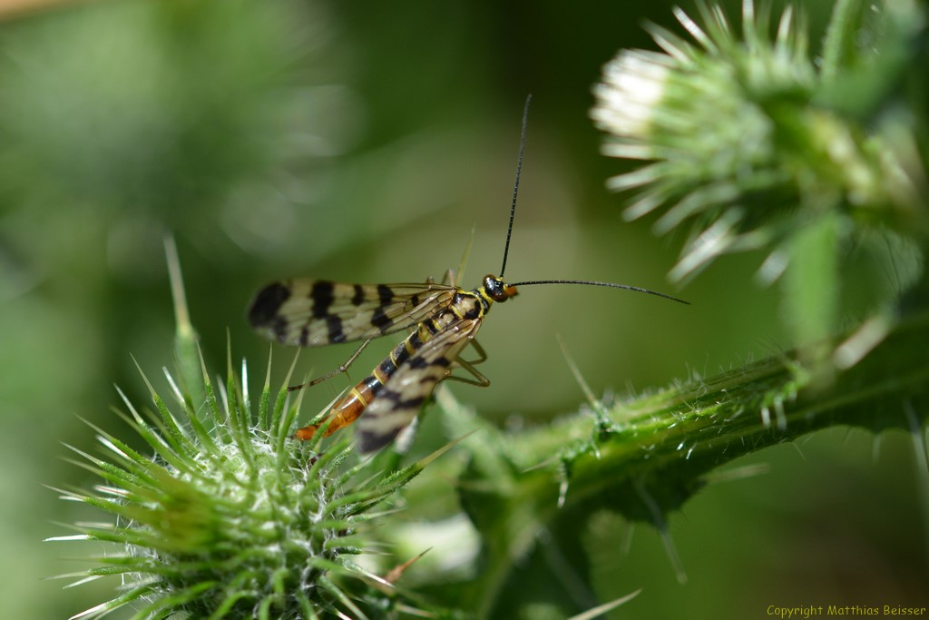 Gemeine Skorpionsfliege (Panorpacommunis)