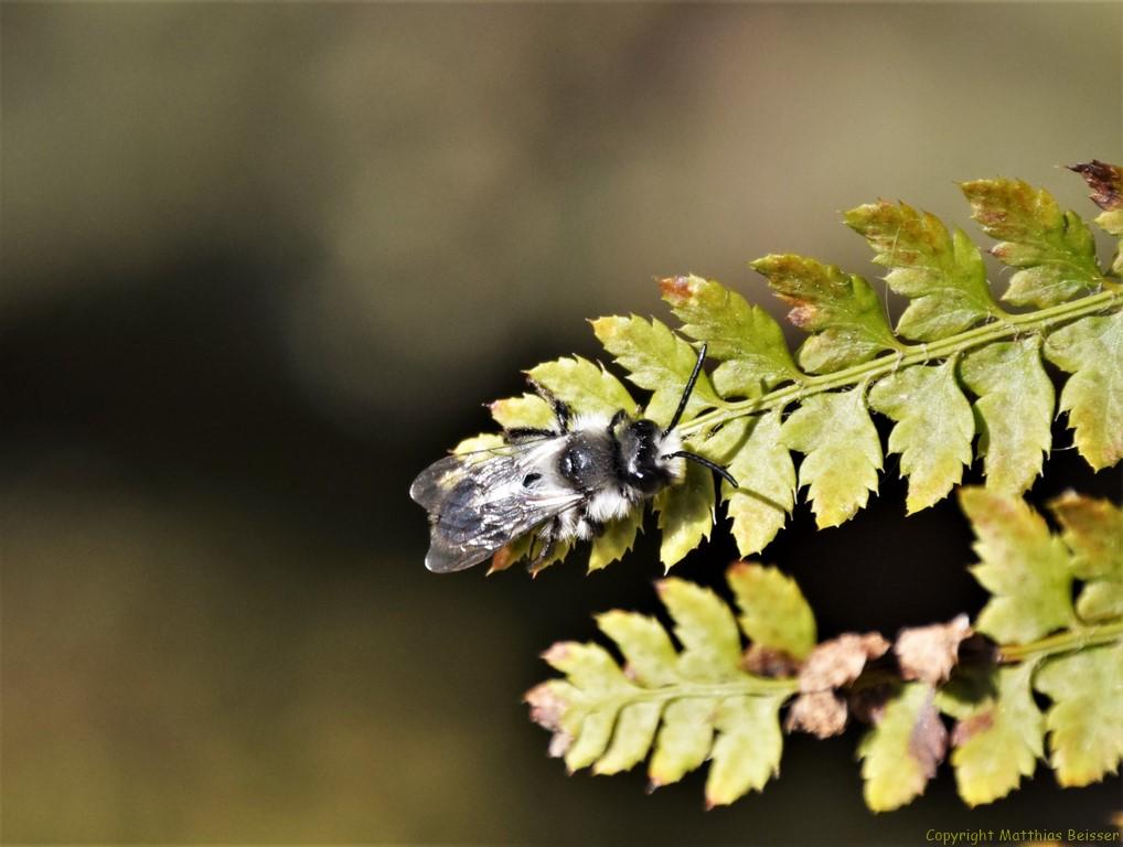 Graue Sandbiene (Andrena cineraria)