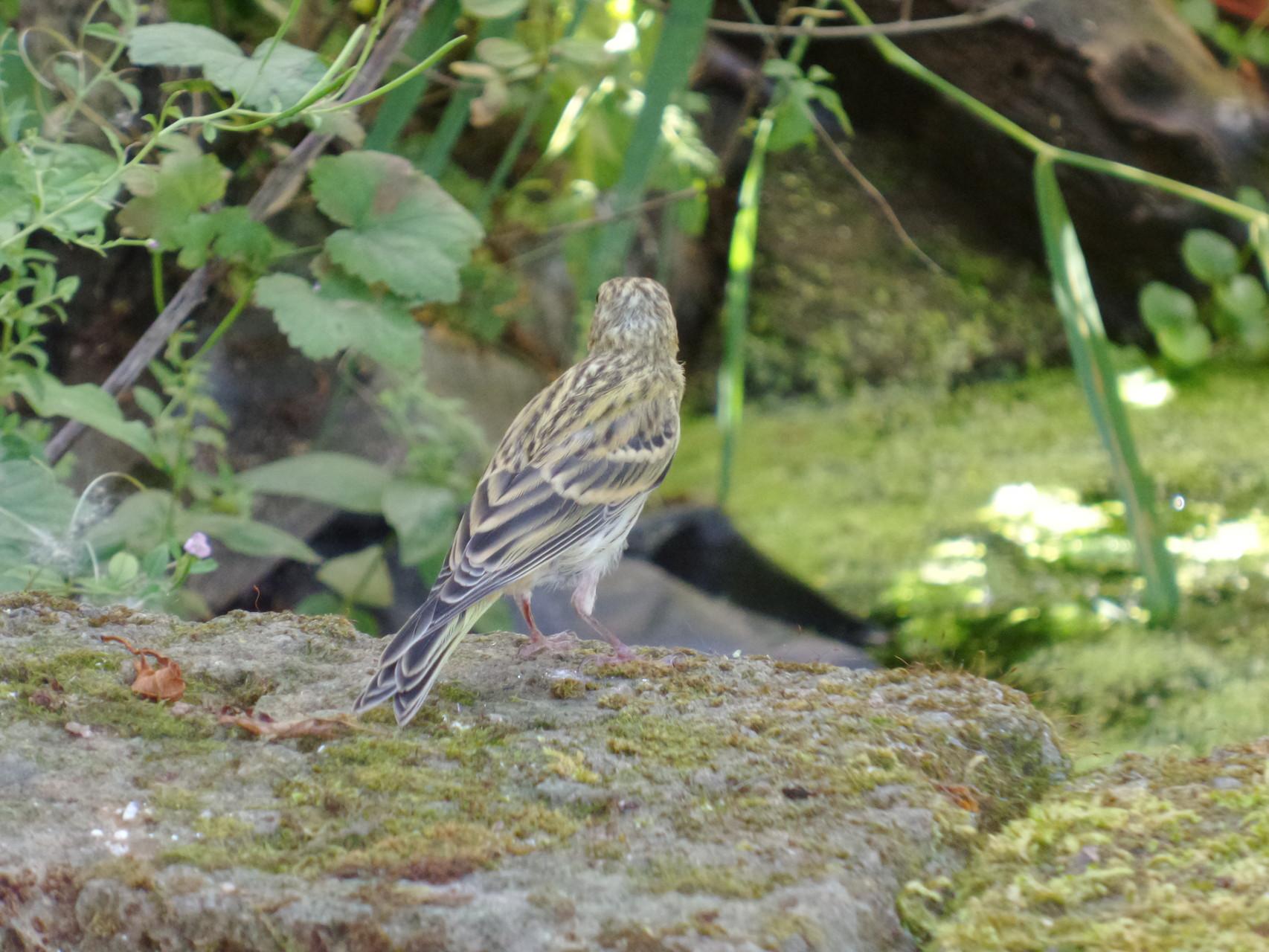 Girlitz Weibchen (Serinus serinus)
