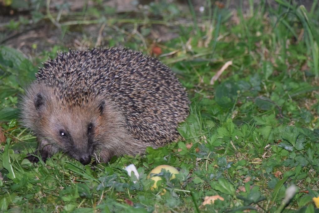 Die Igelpopulation im Hortus ist gleichbliebend, jeden Abend mindesten 5 Stck die sich durch die Pufferzone anschleichen.