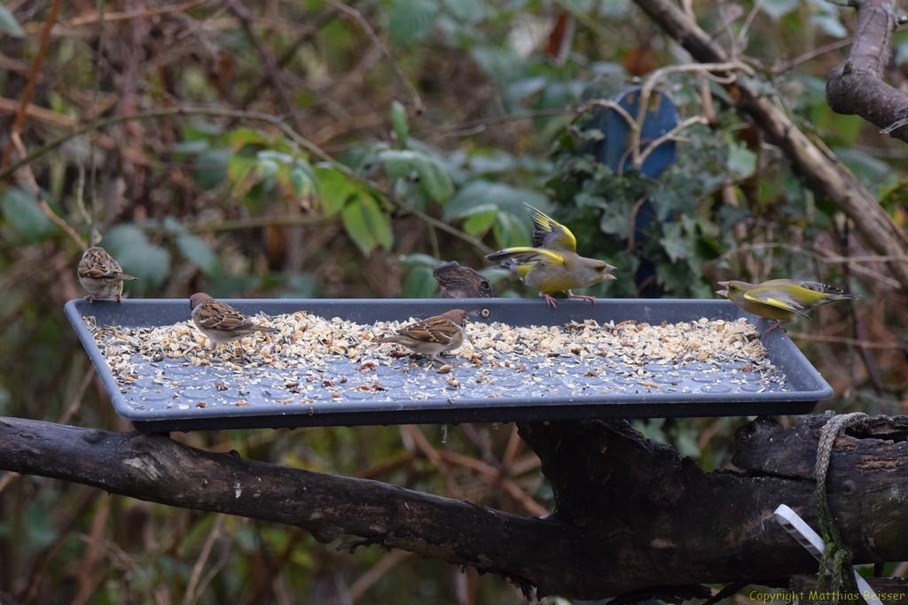 Dieses Jahr sind das erstemal Feldsperlinge aufgetreten (bis zu 20 Stck.), auch die Grünfinken haben mich nicht entäuscht und sind wieder da.