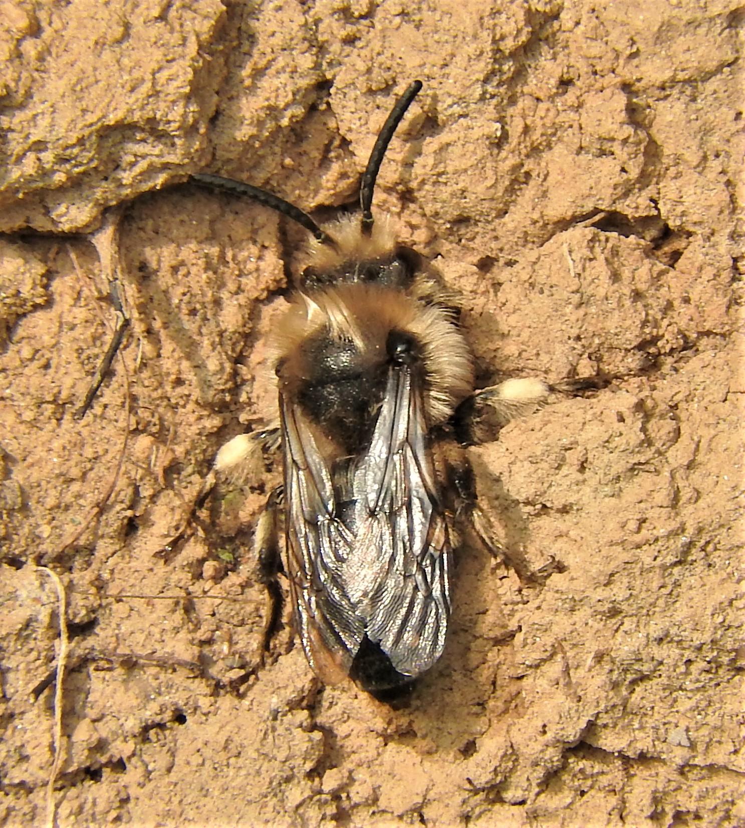 Frühlings-Seidenbiene Männchen (Colletes cunicularius)