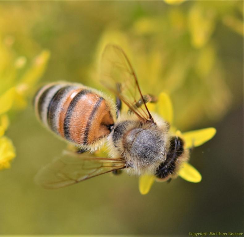 Honigbiene (Apis mellifera) auf Mauerpfeffer