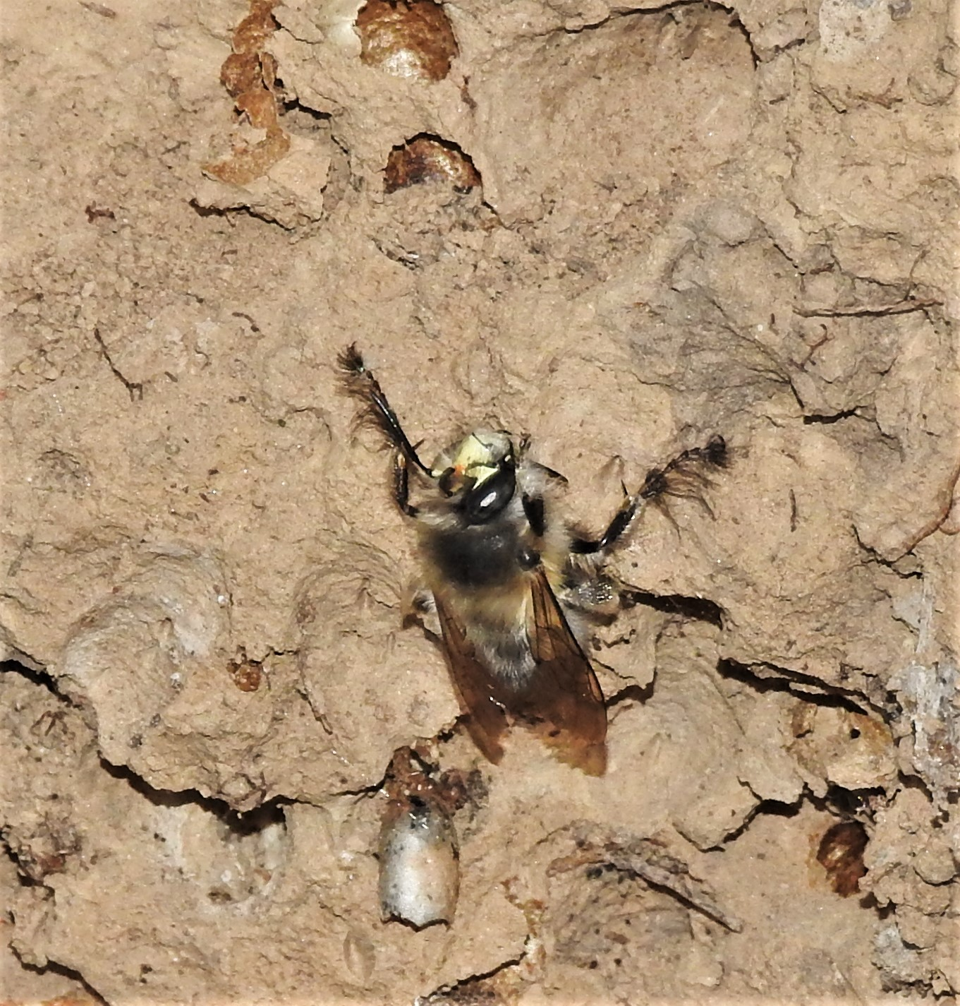 Frühlings-Pelzbiene (Anthophora plumipes)