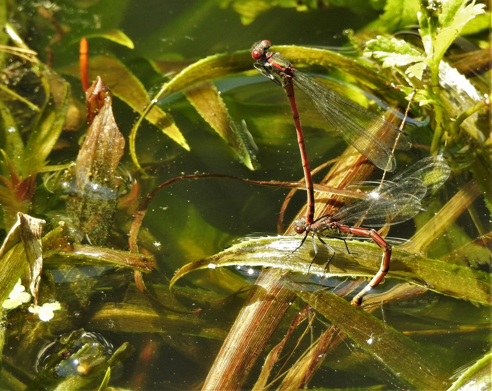 Adonis Libellen bei der Paarung.