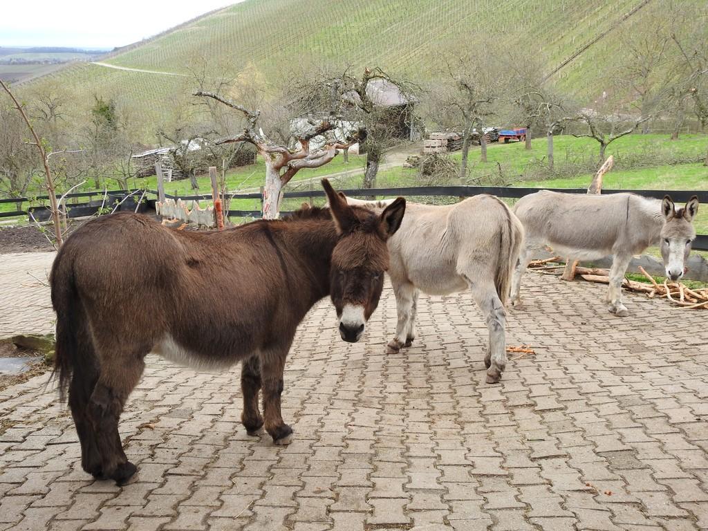 Zu Besuch bei einer guten Freundin und ihren 4 Herzallerliebsten Eselchen.
