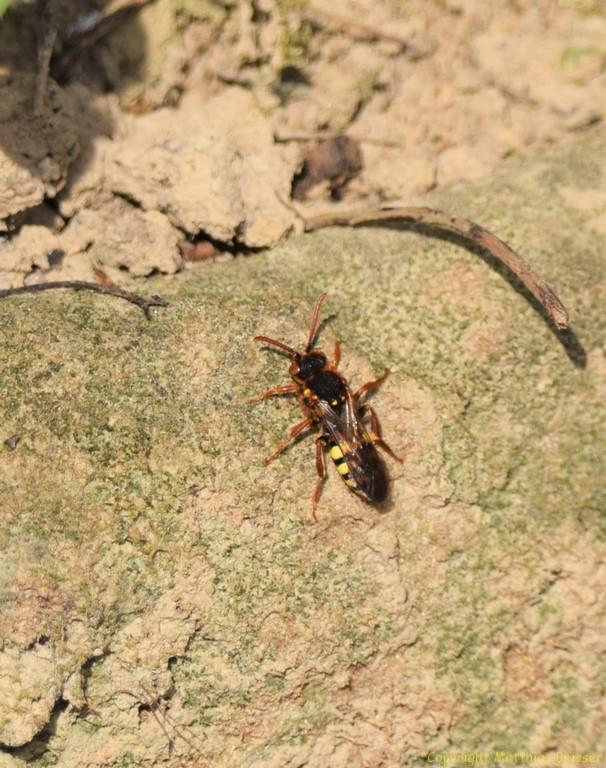 Rote Wespenbiene (Nomada armata) ist eine Kuckucksbiene zur Grauen Sandbiene