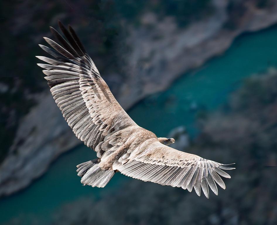 Vol du vautour sur Verdon