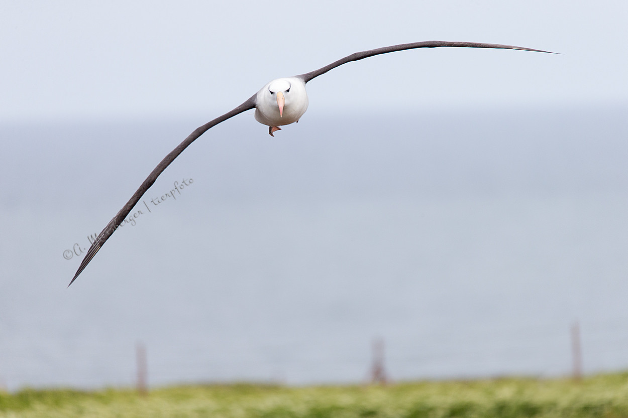 Albatros voraus!