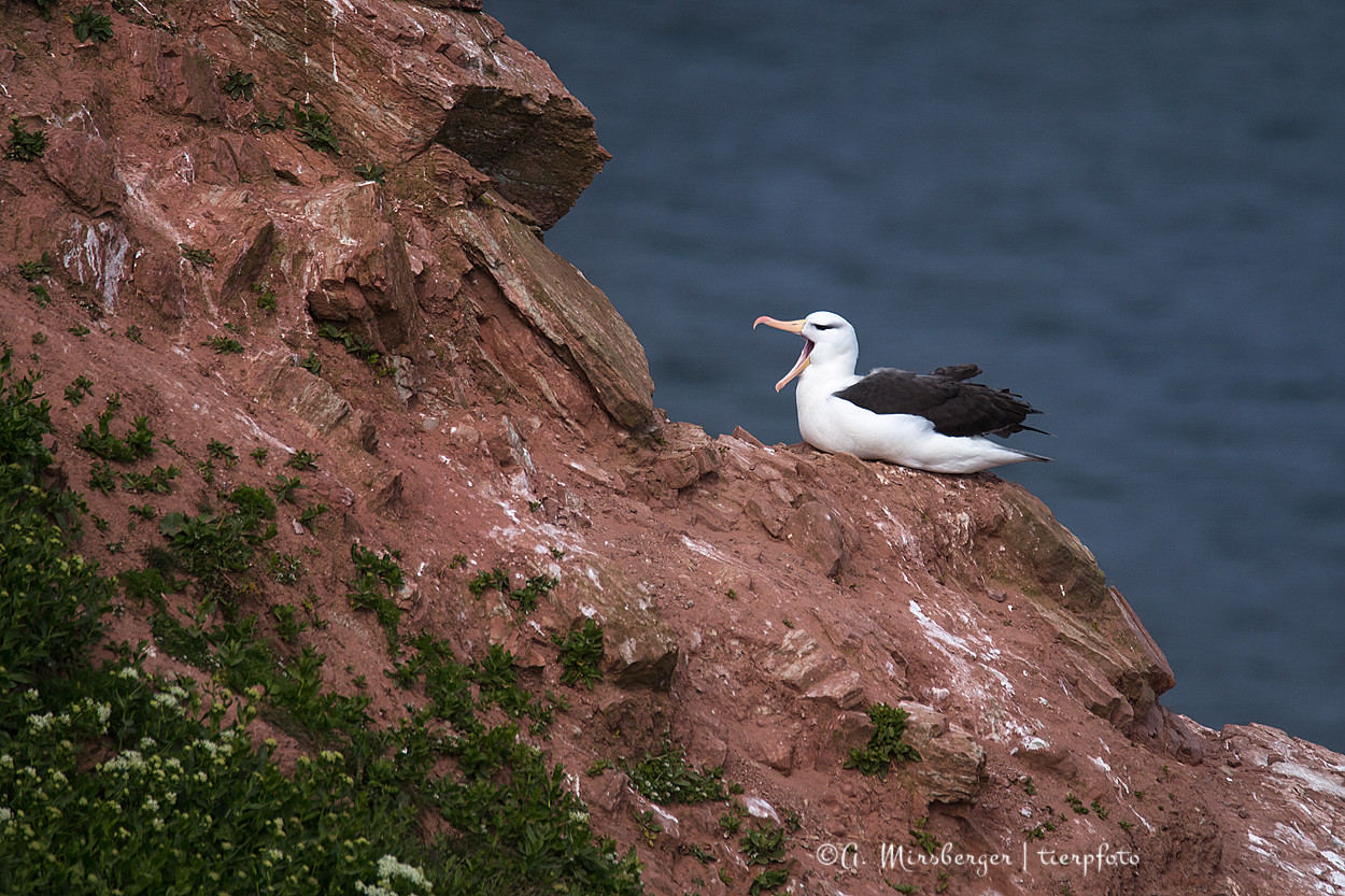 Der Albatros