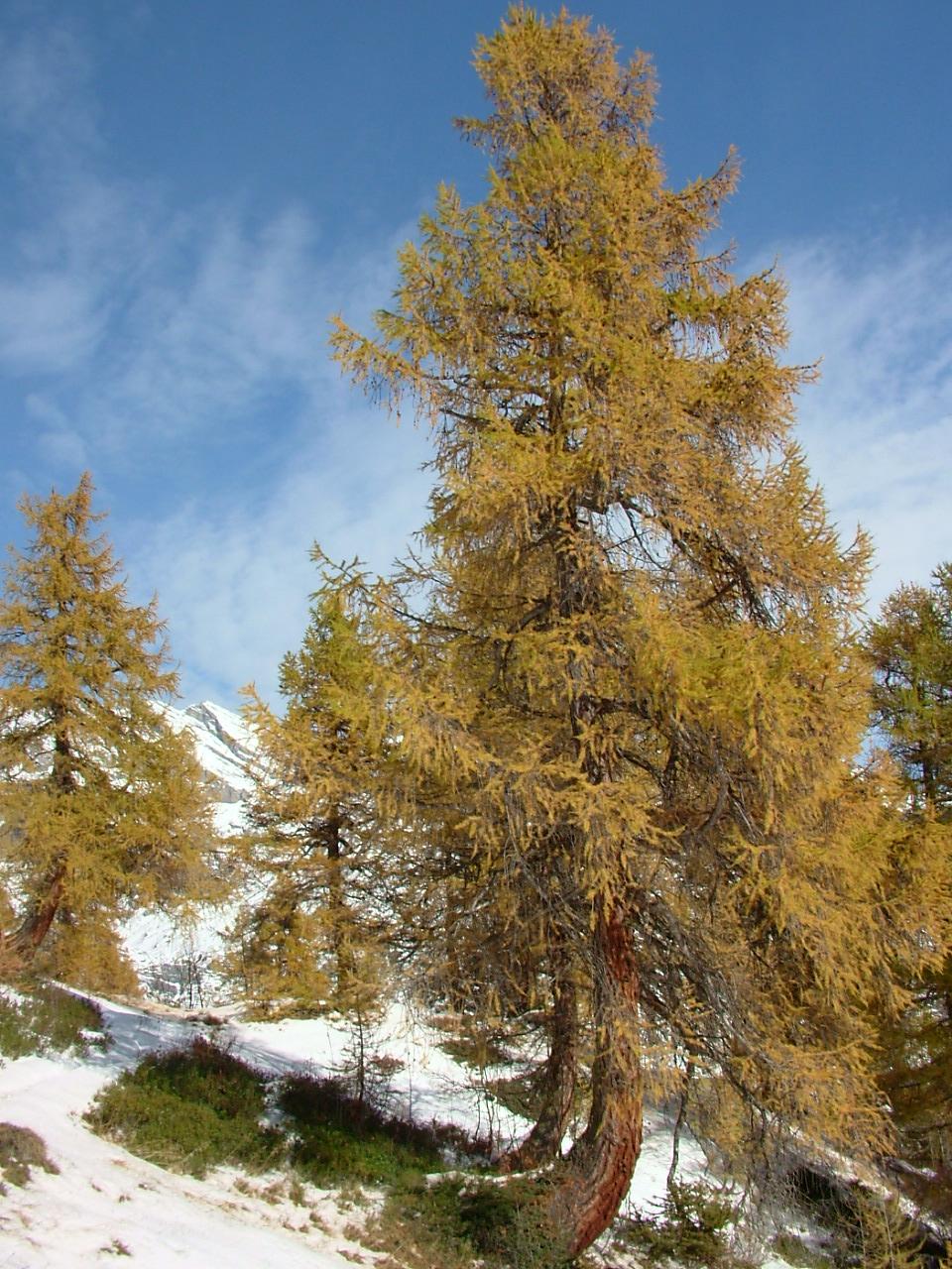 Ces arbres ont pris cette forme car ils grandissent à l'encontre d'un courant telluriques de crête descendant le long de la montage (Ovronnaz VS)
