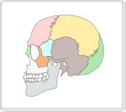 頭蓋骨 イラスト