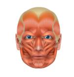 小顔 筋肉 画像2