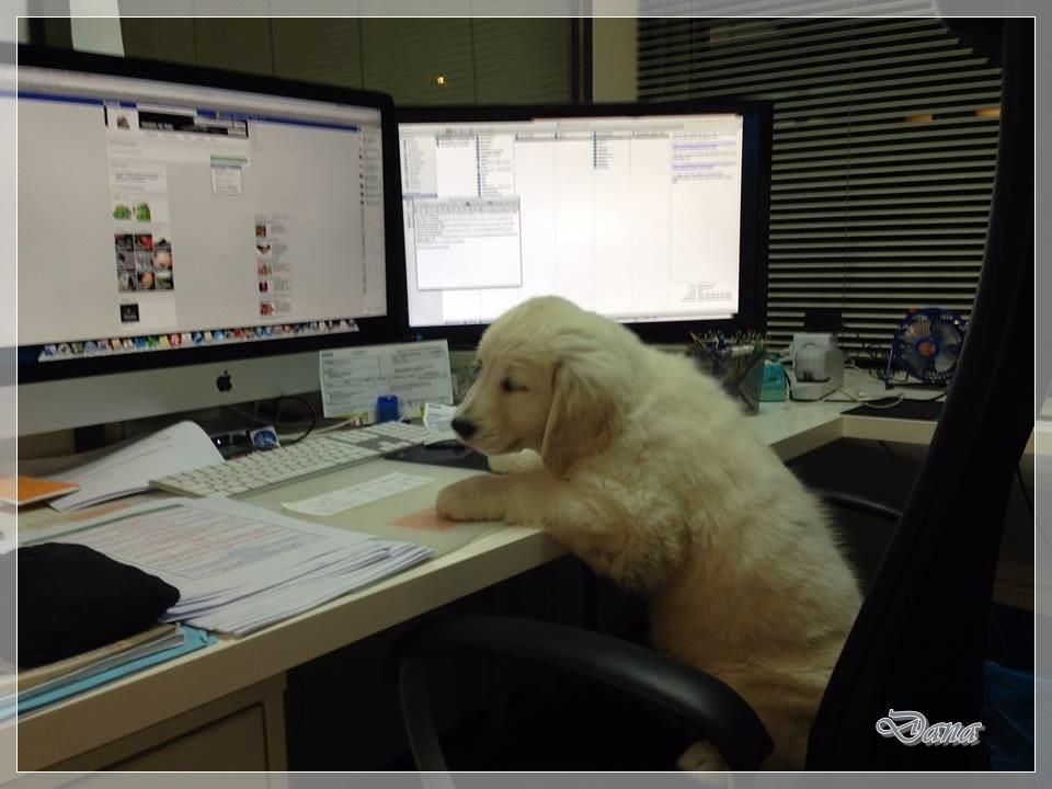 Dana, de Barcelona, se ha adaptado tan bien, que hasta ayuda a su dueño en la oficina!