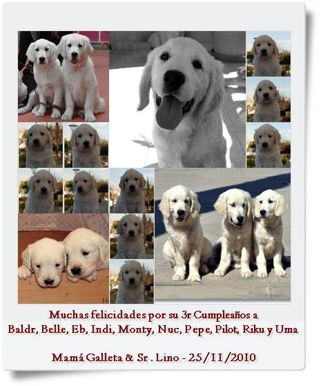 Golden Retriever Heraldo de Gaia