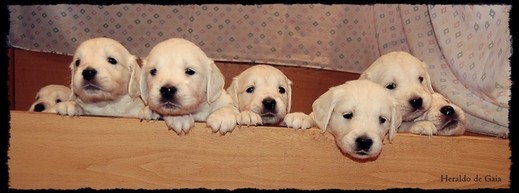 Cachorros Golden Retriever Heraldo de Gaia