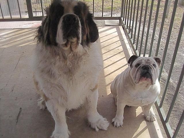 お出迎え犬のセントバーナード(バロン)とブルドック(ガブリエル)です