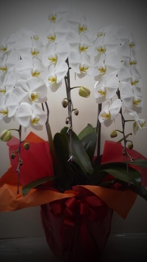 御祝 胡蝶蘭¥22000前後~花の輪数によります