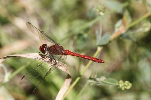 Blutrote Heidelibelle, Männchen