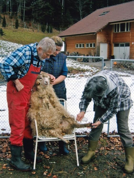 Klauenpflege bei den eigenen Schafen