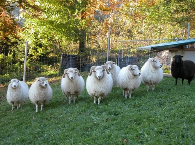 die eigenen Schäfli im Herbst - sie sind nur Rasenmäher, Heuvernichter und Brotresteentsorger bei uns...