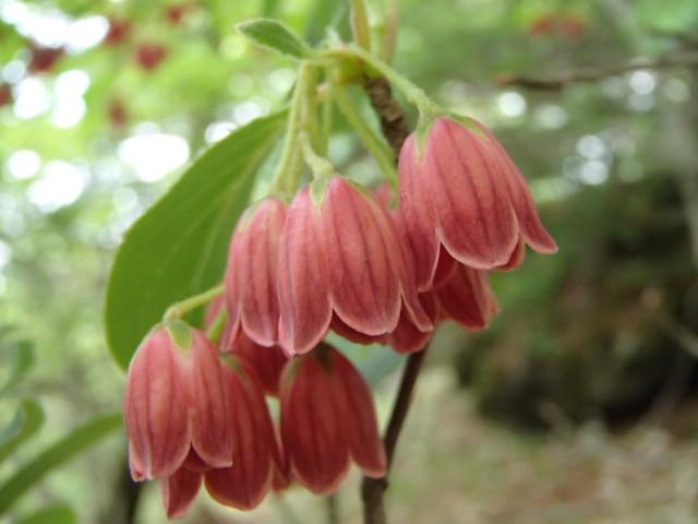 編笠山でも高山植物が開花!
