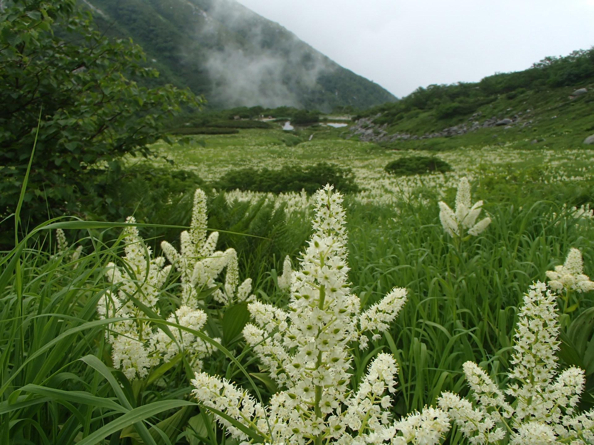 千畳敷一面に咲くコバイケイソウ