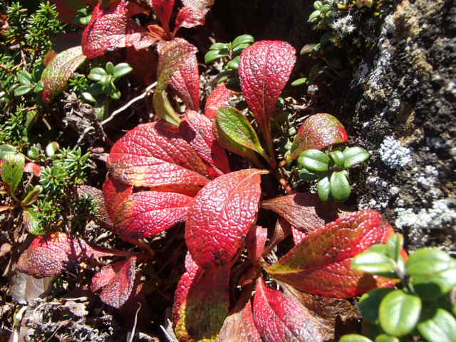 ウラシマツツジの葉紅葉