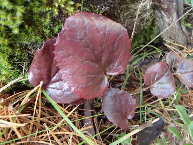 コイワカガミの葉紅葉