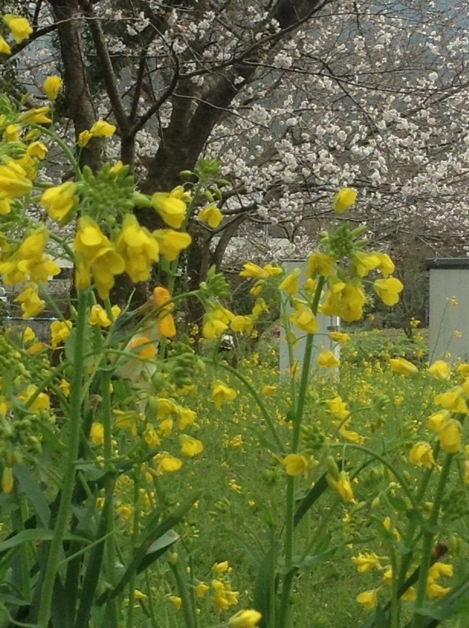 『春』です!!