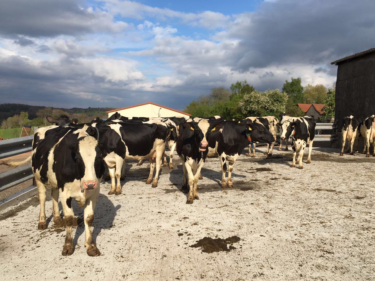 Die Kühe genießen die Sonne auf unserem Freilauf