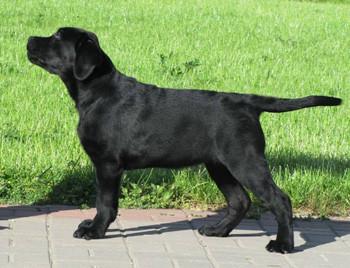 BAMBINO DI SOLE ALESSANDRA AMBROSIO (Аля) (TAPEATOM CAVALIERO + SLAV TROPHY PERSNAL VILOSITY)    Best Baby-4, BIS Puppy-4, Best Puppy Club, 2 JCAC