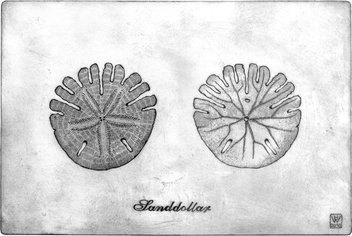 Sanddollar, Radierung  20x30 cm