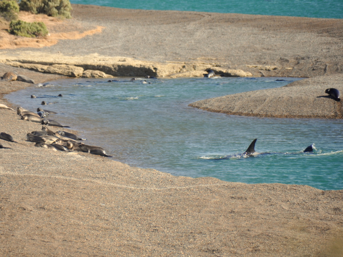 Orcas beim Jagen, zuerst Spähen...