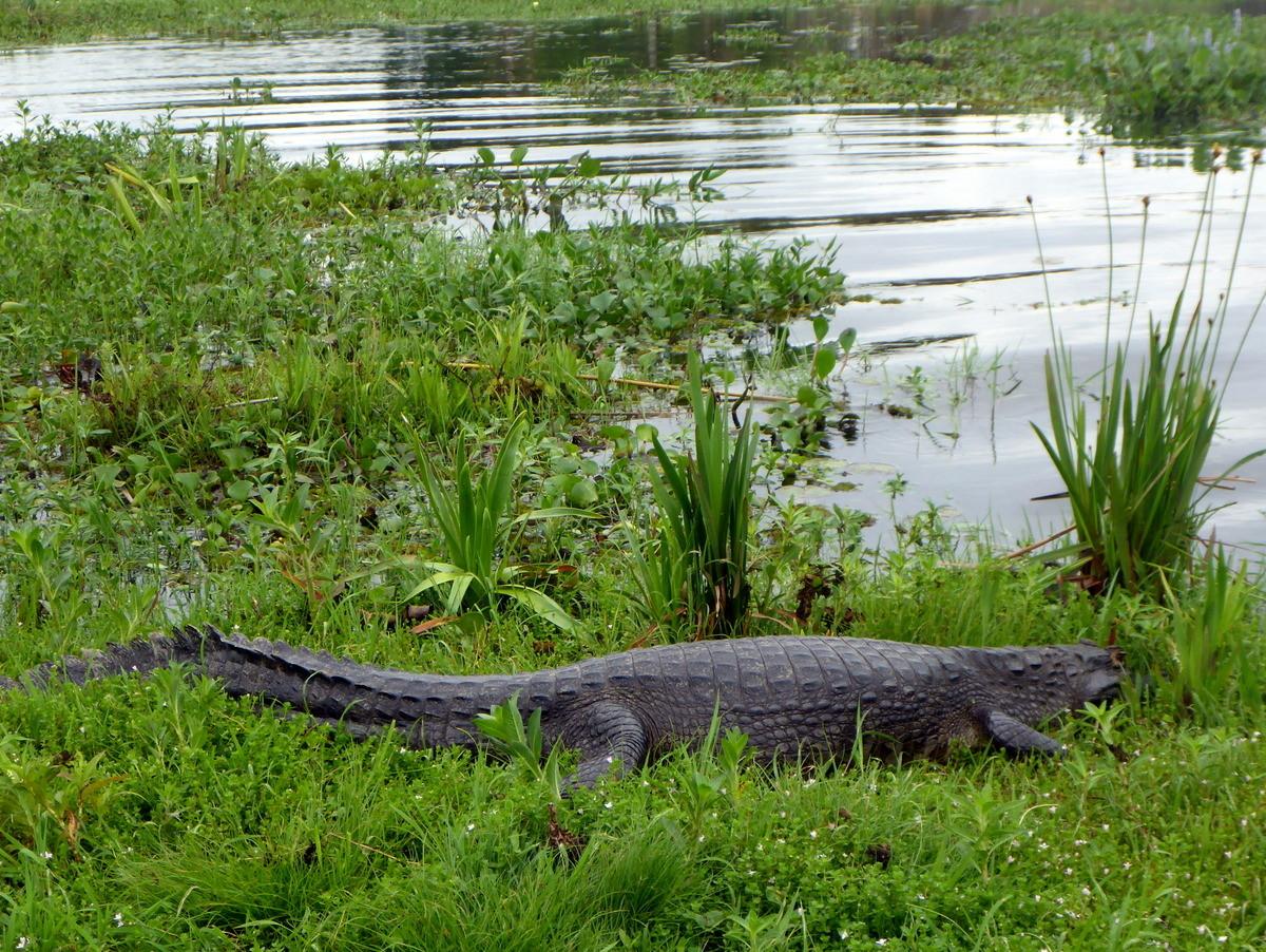 Kaimane oder hier Yacaré genannt werden bis 2.5m lang und sind recht eindrücklich