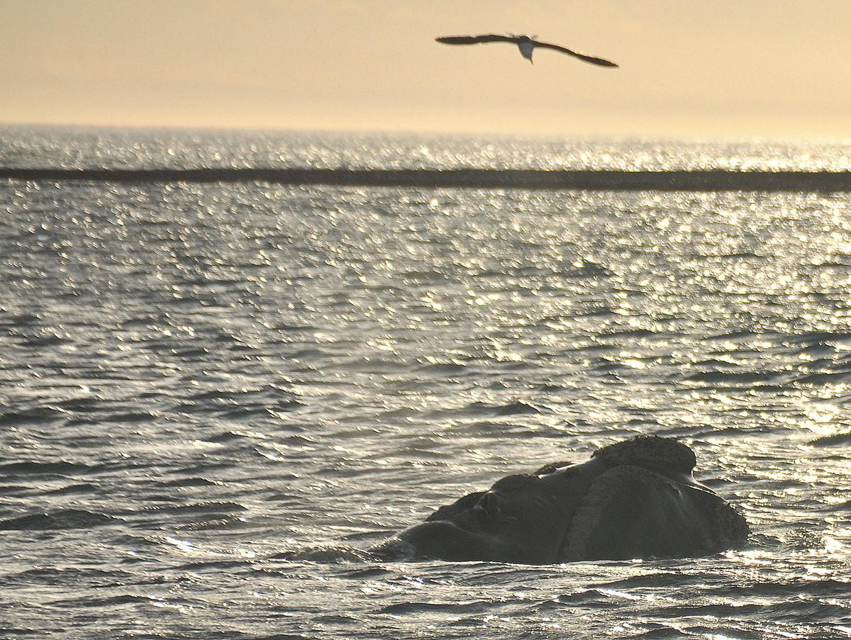Die Spitze des Bartwales , bis 80t schwer und 17m lang