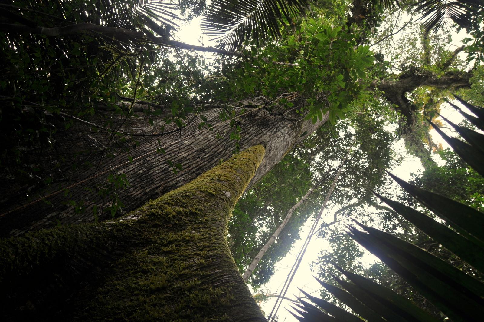 Riesiger Urwaldbaum ca. 200 Jahre alt