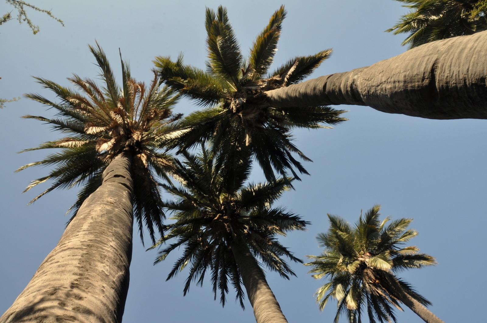 Die chilenischen Palmen
