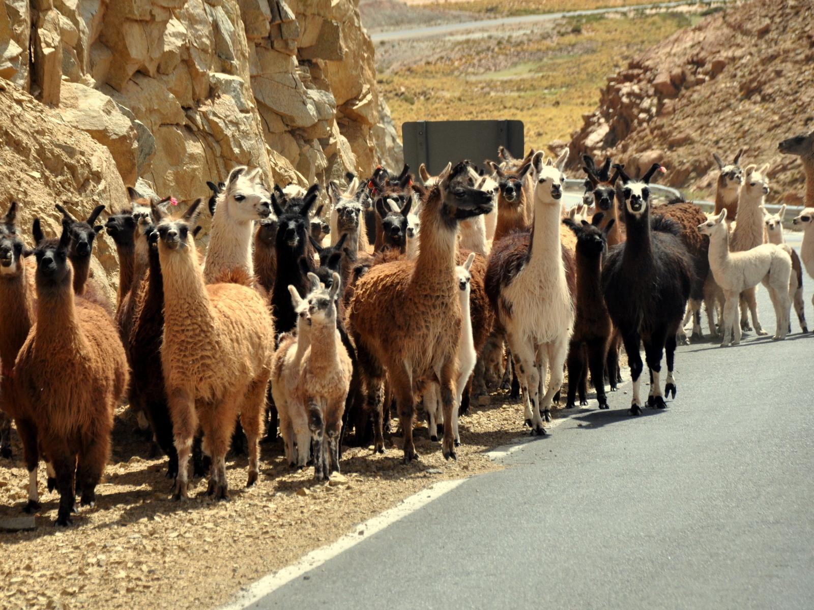 Eine Herde Lamas