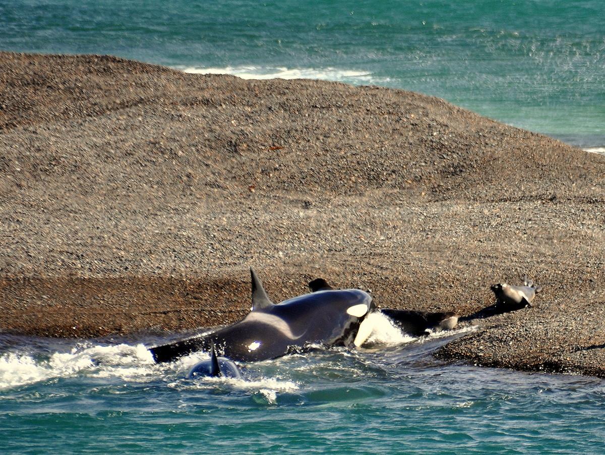 ...einen Seeelefant packen und zurückrobben