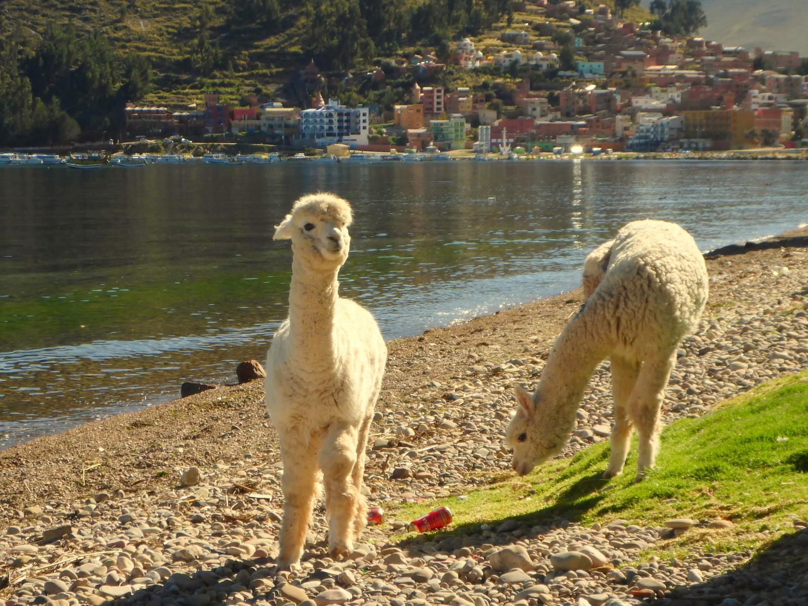 Am Morgen zieht eine Herde Alpacas an uns vorbei