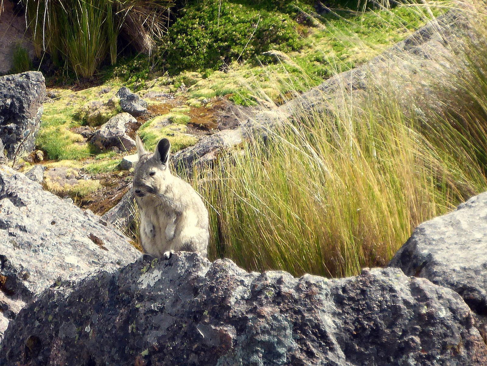eines der Viscachas