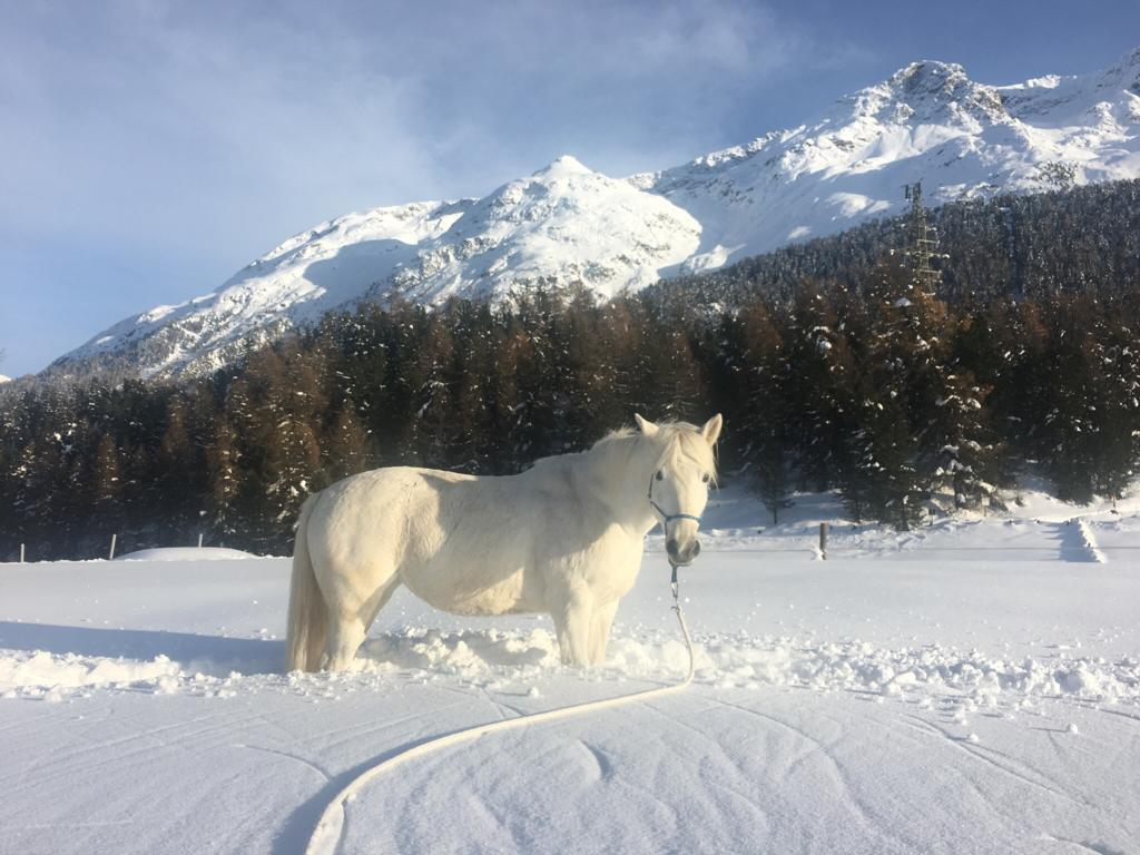 Anfangs Coronazeit Training im Schnee für Camargue Stute Elli