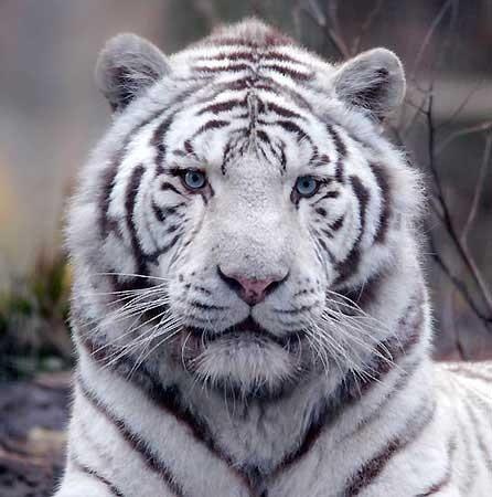 Un tigre blanc