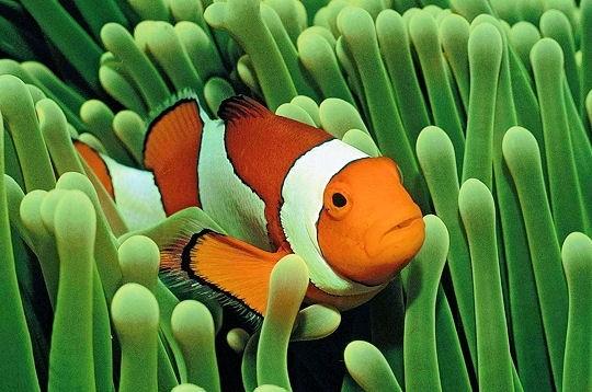 Un poisson clown