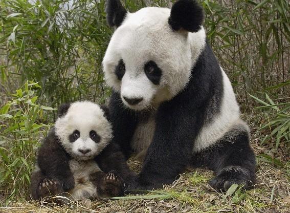 Une mère panda géant et son petit