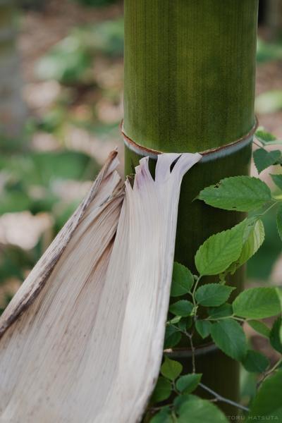 孟宗竹の皮の内側は外側よりも白く(Fujifilm X-Pro2)
