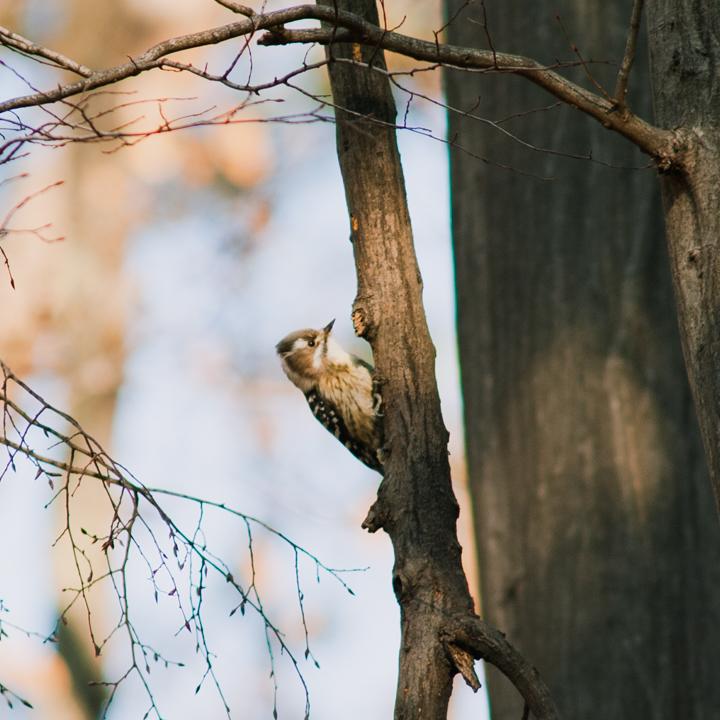 籠を背負う野鳥、冬のコゲラと出会う