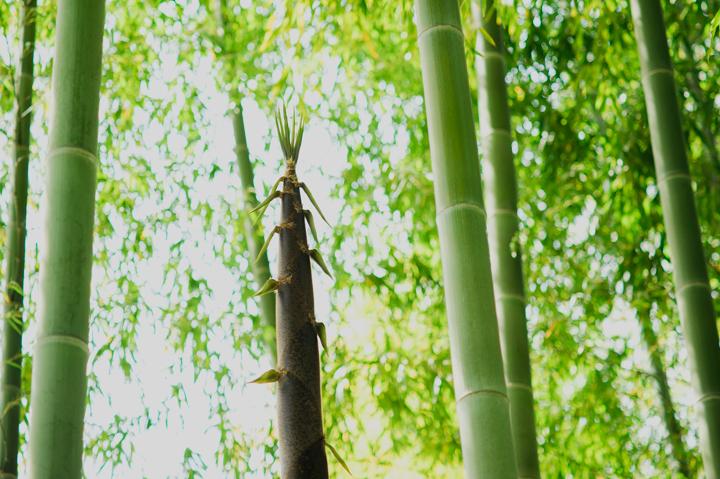 四月の竹林と伸びるタケノコ
